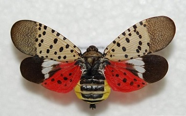 invasive spotted lanternfly